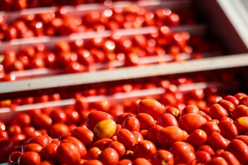 MUTTI LIVE TOMATO HARVEST – AN EXCLUSIVE ACCESS TO MUTTI'S FIELDS AND FACTORY!